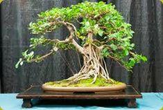 Il Ficus Retusa è il bonsai da interno per antonomasia e si adatta a quasi tutte le condizioni ambientali.