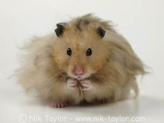 Cute fluffy hamster by beachbumsfrombude, via Flickr