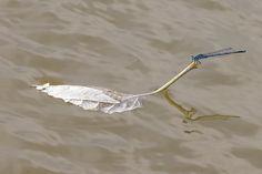 Damselfly on a leafboat - photo by Claudio Cavalensi