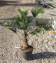 (Miniature Chusan palm)  Originating from China, Japan    An extremely hardy palm with a single trunk covered in hessian-like fibrous sheathes and a compact crown of stiff, upright leaves on stout petioles (leaf stems). The new leaves are margined with silver/white, woolly down. T. wagnerianus is a slower growing though more wind tolerant palm than Trachycarpus fortunei and is therefore ideal for exposed positions.  Grow in fertile, moist but well-drained soil in sun/shade.  Mature h