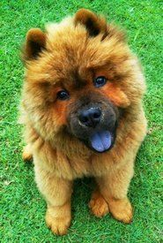 chow chow..look at that cute little blue tongue