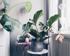 Medinilla Magnifica (Rosenskärm på svenska), finns det något vackrare eller mer passande namn på den här skönheten? Den börjar bli lite av en inredningsblogg-klyscha, men jag har velat ha en...