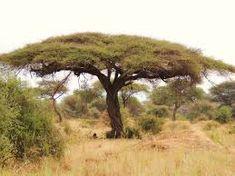 Vachellia (ex Acacia) Tortilis Umbrella Thorn Haak-en - steek m S A no African Tree, Burnt Offerings, Tanzania Safari, Parasol, Growing Tree, Acacia Wood, African Safari, Science And Nature, Bonsai