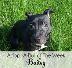 Adopt-A-Bull Bailey,