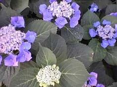 Purple & Blue Hydrangia's