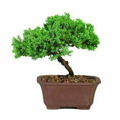 Outdoor Bonsai Tree, Bonsai Trees For Sale, Bonsai Tree Care, Common House Plants, Juniper Bonsai, Patio Plants, Bonsai Plants, Sun And Water, Animals For Kids