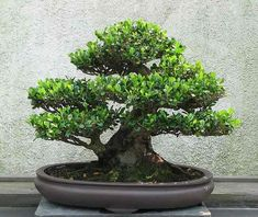 Bonsai tree care for beginners