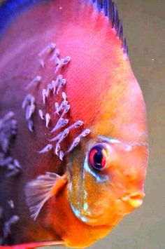 Discus fish - secrete a milky substance for the fry to eat when just hatched.