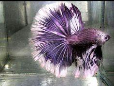 Betta fish aka Siamese fighting fish is a popular species of fresh water aquarium fish