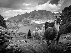 Llamas, Perú | National Geographic Photo Of The Day - May 23, 2013 / Antoine Bruneau - Copyright ©