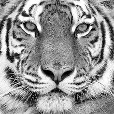 Tiger Fine Art Print by PhotoINC Studio at FulcrumGallery.com