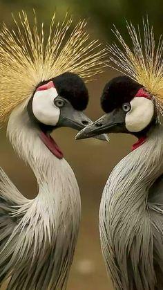 Grue couronnée / Black crowned  crane / Balearica pavonina. Aire: Afrique tropicale. Essentiellement haute vallée du Nil, sud du Soudan et ouest de l'Éthiopie. Référence: Les éditions Atlas, Les plus beaux oiseaux du monde, p. 115.