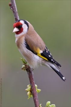 "European Goldfinch ""Stieglitz"" Böblingen, Germany 2012"