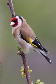 "European Goldfinch ""Stieglitz"" Böblingen, Germany 2012"