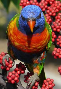 Rainbow Lorikeet ✿⊱╮