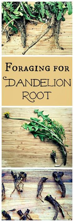 Dandelion root is easy to forage and has many health benefits. You can even make a coffee substitute with it!: