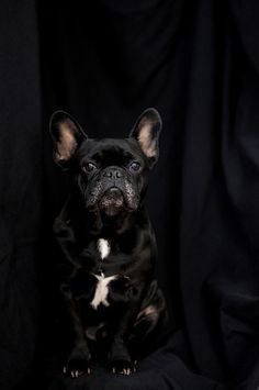 This is Enzo Le Poo, a frenchy bulldog.  I tell Twiggy this is her long-lost father ;-}