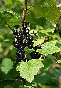 Black currant plant with ripe black currants - Ribes nigrum
