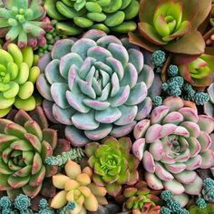 A guide to succulent care so you can have perfect succulents! Tips for caring for your succulents so they grow incredibly! Never over-water your plants again! Purple Succulents, Types Of Succulents, Growing Succulents, Planting Succulents, Succulent Plants, Echeveria, Succulent Landscaping, Succulent Care, Succulent Images