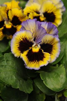 Pansy 'Frizzle Sizzle Yellow Blue Swirl'