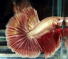 Dragon Splendens Betta | Re: Mâle HM White platinum X femelle HM Gold