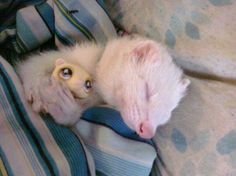 Albino ferret holding a toy