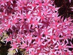 Ground Cover. Sedum spurium 'Schorbuser Blut' August to September blooming.