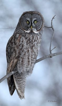 Birds of Prey - Great Gray Owl