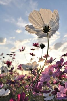 flores silvestres - this is amazing outside the 🌻 Wonderful Flowers, Wild Flowers, Beautiful Flowers, Cosmos Flowers, Summer Flowers, Nice Flower, Field Of Flowers, Happy Flowers, Flowers Garden