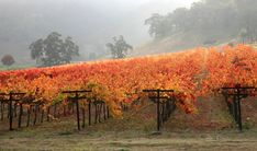 The vines are changing and all the leaves are turning gold yellow brown and even orange. Soon they will fall and the vines will be like stark sticks in the paddock. The temperature is dropping and it's a good time to be out and about with Cork 'n Fork Tours.  Log on to https://corknforktours.com and check out the many and varied tours available  or just give us a call to discuss and arrange your next or first outing with us. #corknforktours #thisisqueensland