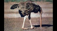 'The ostrich song'