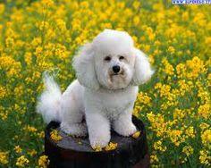 Barboncino toelettatura ~ Oltre fantastiche idee su toelettatura di cane su