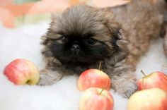 What NOT To Share With Your Pekingese During The Holidays http://www.pekinews.com/6-foods-toxic-to-dogs-what-not-to-share-with-your-pekingese-this-holiday-season/