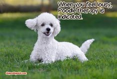 WHEN YOU FEEL LOUSY POODLE THERAPY IS INDICATED