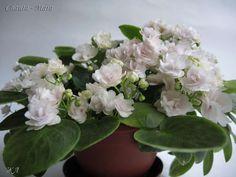 Saintpaulia, African Violet, Holland, Flowers, Plants, Trail, Snow, Violets, African