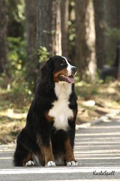 nice bernese dog
