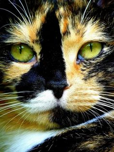 Calico cat. Beautiful!