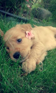 My Charlee ♥ Cute Little Puppies, Cute Dogs And Puppies, I Love Dogs, Doggies, Cute Puppies Golden Retriever, Retriever Puppy, Cute Baby Animals, Animals And Pets, Family Friendly Dogs