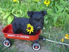 Scottie #Puppy #Puppies #Dogs #Dog #Pup #Photography Scottish Terrier #Scotties
