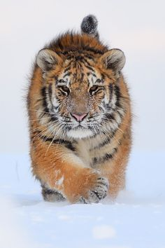 The Beauty of Wildlife Beautiful Cats, Animals Beautiful, Beautiful Pictures, Chat Lion, Lion Tigre, Big Cat Family, Animals And Pets, Cute Animals, Tiger Love