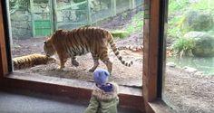 Nunca despiertes a un tigre de una siesta #viral