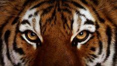 tiger eyes \ face detail