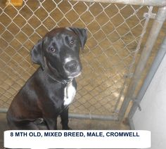***SUPER SUPER URGENT!!!*** - PLEASE SAVE CROMWELL!! - EU DATE: 6/25/2015 -- Cromwell Breed:Labrador Retriever Age: Young adult Gender: Male Size: Medium Special needs: hasShots, Location: Elizabethtown, NC  Read more at http://www.dogsindanger.com/dog/1434407705473#8mBhTGHdEsybPrMs.99 - About Cromwell: Cromwell is a 1 yr old lab mix breed boy who would be a great new friend. He needs to be someone's special dog. The shelter is FULL, Please don't leave him there. . Call Silvia and Debbie
