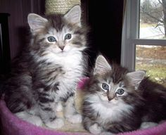 most popular cats in the world the maine coon cat