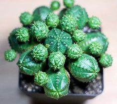 Euphorbia daisymontana