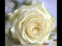 --------------------- love this White, Creamy Rose. I can almost smell the light Lemon Tea Rose Smell~TD. Amazing Flowers, Beautiful Roses, Beautiful Flowers, Rose Pictures, Rose Photos, Beautiful Pictures, Yellow Roses, White Roses, White Flowers