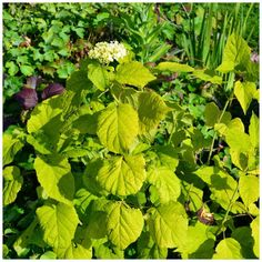 Den Lykkelige Hagen : Stiklingsformering av busker - syrinhortensia Annabelle Herbs, Garden, Garten, Lawn And Garden, Herb, Gardens, Gardening, Outdoor, Yard