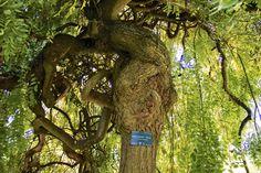 Sophora Japonica (Pendula, Pleureur des Pagodes. Sophora Japonica Pendula, Bird, Outdoor Decor, Plants, Home Decor, Gardens, Decoration Home, Room Decor, Birds