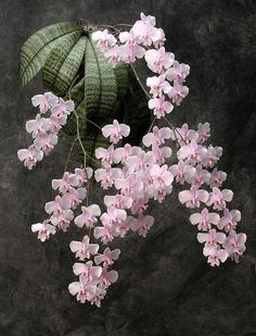 Collector's Item: Phalaenopsis schilleriana creates a striking presentation when the flowers are allowed to develop to a naturally-arched pendant inflorescence. Description from pinterest.com. I searched for this on bing.com/images