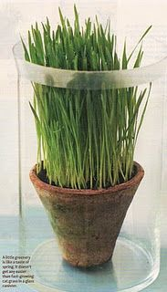 Wheat grass in a wonderful pot.  Great display for Easter season